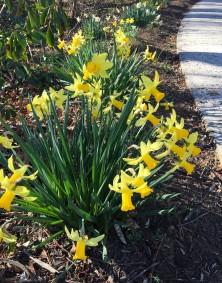 daffodils-by-sidewalk