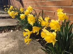 daffodils-by-wall